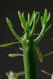 Pencil Cactus Macro