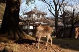 Nara is famous for the tame deer wandering in the temples of Nara-koen Park