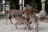 Roe deer faun nursing, Nara