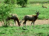 A herd of Blesbok lives on the grounds of the Voortrekker Monument