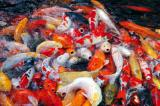 A pond of hungry colorful fish greet you to Phuket Fantasea
