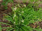 Pleea tenuifolia