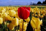 Skagit Valley Tulip Festival 2002