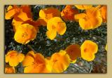 April 1- mexican poppies