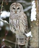 Barred Owl 1023.jpg