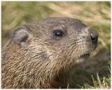 Charlie (Park Groundhog)