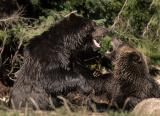 Grizzly War 13