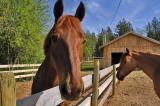 Horses, Victoria 2