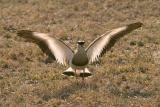 Plover - get away from my nest!!