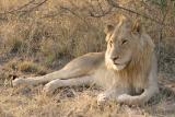 lion_6103.jpg