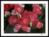Begonias #3