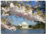 Cherry Blossom at the Jefferson Memorial