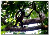 Monkeys Of The Solentiname Islands