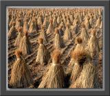 Autumn Rice Straw