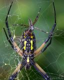Argiope Male & Female