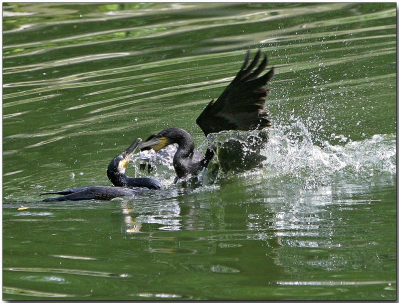 Cormorants - fighting over a frog