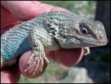 Clark Spiny Lizard - Male