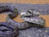 Black Rat Snake (Elaphe obselata)
