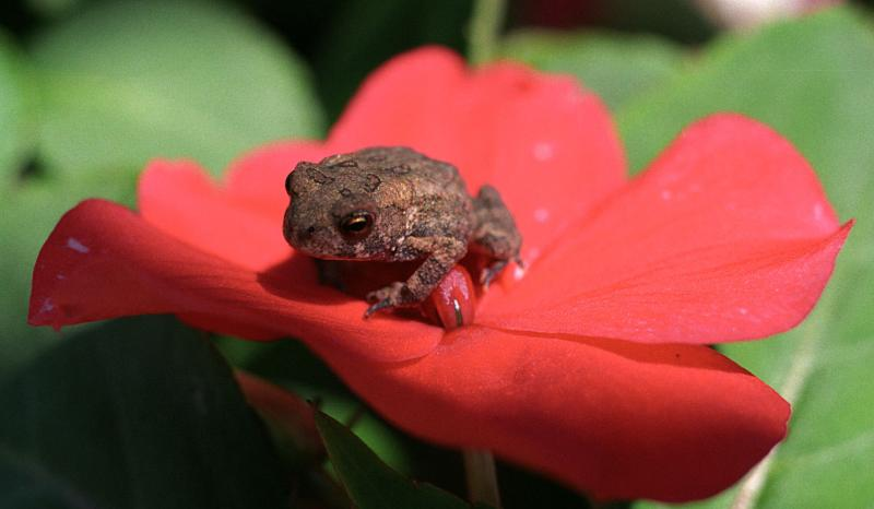 Impatient Toad