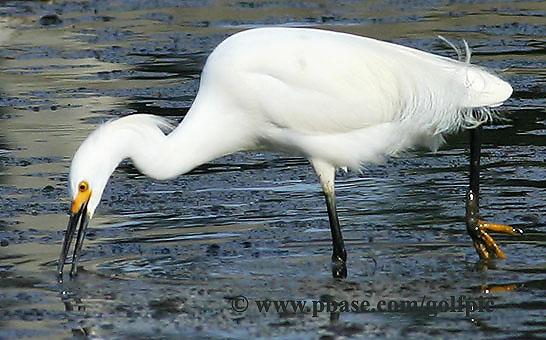 Snowy Egret feeding