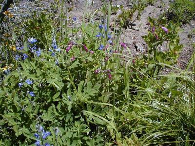 Wild flowers   (RN)