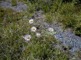 Aster.alpigenus - Alpine Aster    (RN)