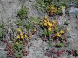 Sedum.divergens - Spreading Stonecrop   (RN)