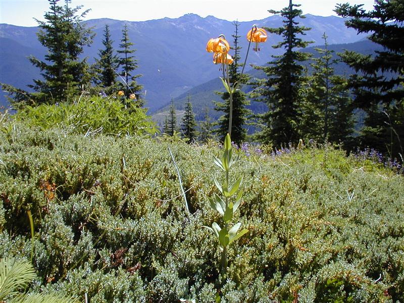 Lilium.columbianum - Columbia Tiger Lily   (RN)