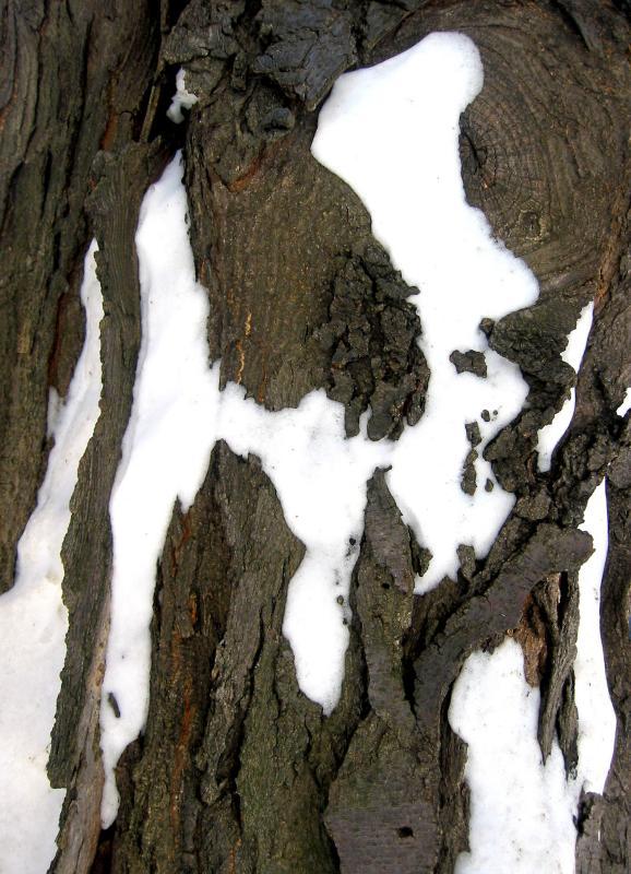 Locust  Bark & Snow at NYU Silver Towers Garden