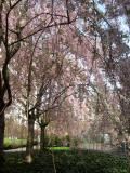 Cherry Tree Blossoms WSVG