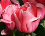 Tulips on West 11th Street near 5th Avenue