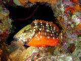 Stoplight Parrotfish2