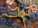 star on blue algae