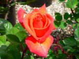 orange rose.jpg