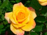 yellow rose 2.jpg