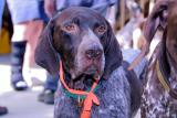 Mid Atlantic German Shorthaired Pointer Rescue Reunion