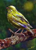 Canary - (Inn #211)