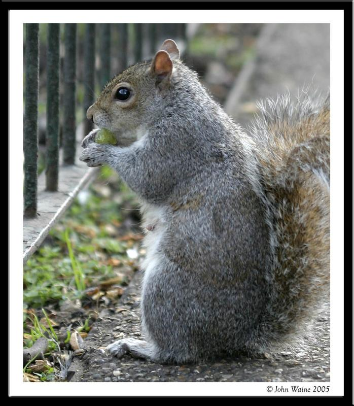Squirrel in St Jamess Park, London 2