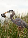 great blue heron. with bluegill