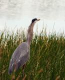 great blue heron. swallows bluegill