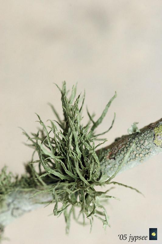 epiphyte on bottle brush branch