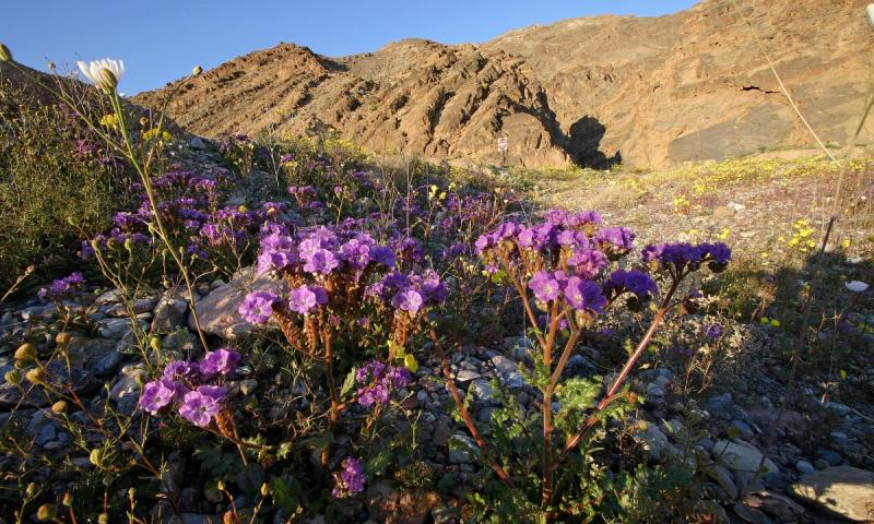 011 Notch Leaf Phacelia in front of Titus Canyon mouth_9328Ps`0503021648.jpg