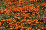 076 Poppies & Fillaree_1419Nfp`0503080929.JPG