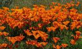 077 Poppy bunch_1515Ps`0503081029.jpg