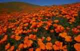 078 Hillside of poppies_0169Ps`0503081131.jpg