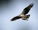An Osprey Returning To The Nest With Breakfast
