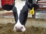 cow3335.jpg