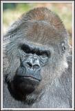 Gorilla Stare - IMG_0984.jpg
