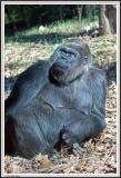 Gorilla Wondering - IMG_0986.jpg