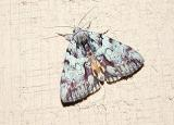 Praeclara Underwing (Catocala praeclara)